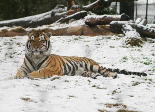 Mike the Tiger enjoying the snow in Baton Rouge